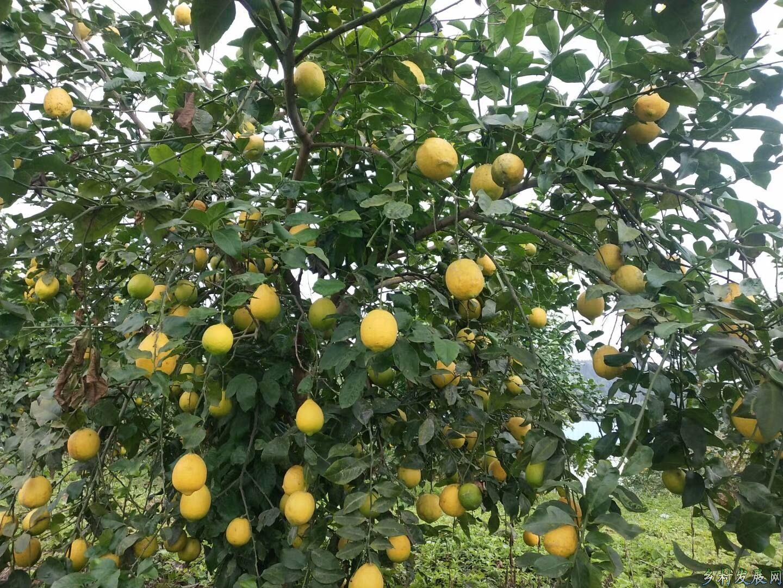 金广农业园柠檬可以采摘了